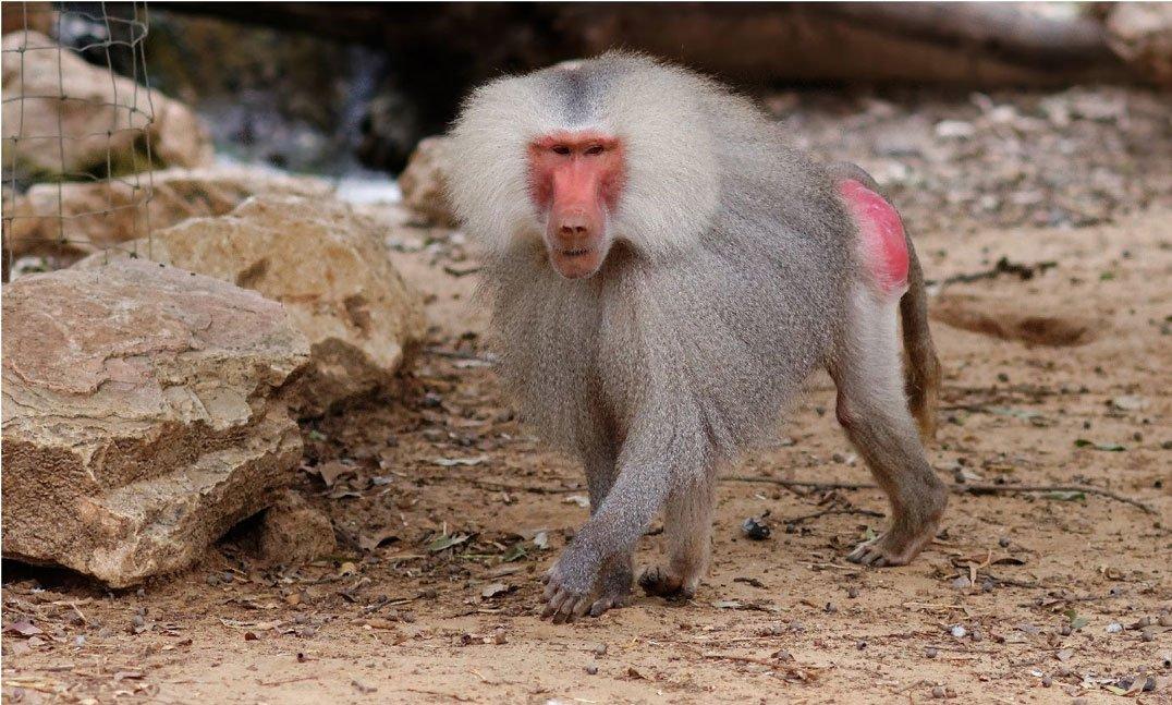 The full baboon