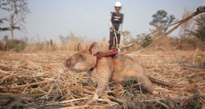 Hero Rats in Cambodia